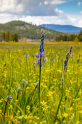 """Wildflowers at Sagehen Meadows 1"" - Photograph of purple Camas and yellow Buttercup wildflowers at Sagehen Meadows."