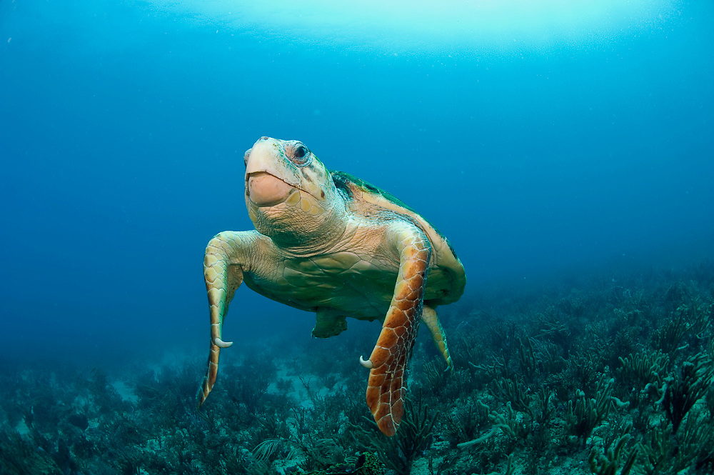 Loggerhead Sea Turtle (Caretta caretta) in Palm Beach County, FL. Florida is home to half of the world's population, and Palm Beach County is a major nesting location.