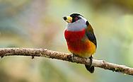 Toucan Barbet (Semnornis ramphastinus). El Queremal, Valle del Cauca.