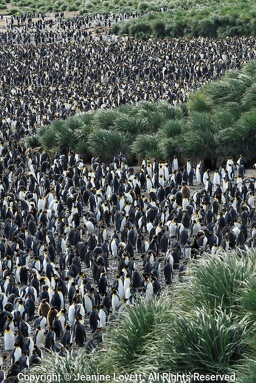 Salisbury Plain is a large king penguin rockery in South Georgia.