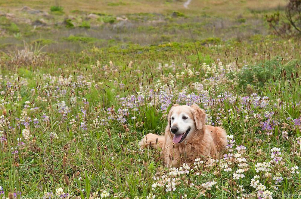 A golden retriever lies in a field of wildflowers on Pillar Point bluff in Half Moon Bay, California