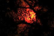sun turns fiery red behind silhouette of gum leaves as the bushfire season begins in 2013