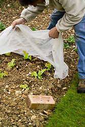 Protecting young lettuce plants by covering with horticultural fleece. Lettuce 'Lollo Rosso'