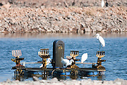 Israel, Jezreel Valley, Egrets in a Fish pond
