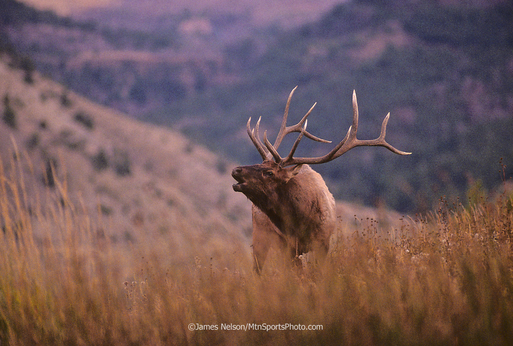 11-556. A bull elk bugles a dusk during the fall rutting season in Yellowstone National Park.