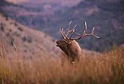 11-556. A bull elk bugles a dusk during the fall rutting season in Yellowstone National Park.