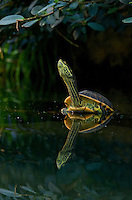 Water turtle Image by Andres Morya