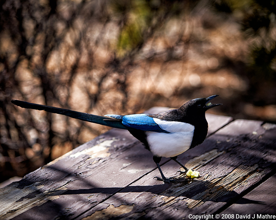 Black-billed Magpie eating scraps on a picnic table at Endovalley in Rocky Mountain National Park. Image taken with a Nikon D3 camera and 70-200 mm f/2.8 VR lens (ISO 200, 125 mm, f/2.8, 1/1600 sec).