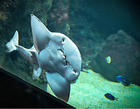 Aquarium de Lyon: Raie guitare<br /> Guitar Ray