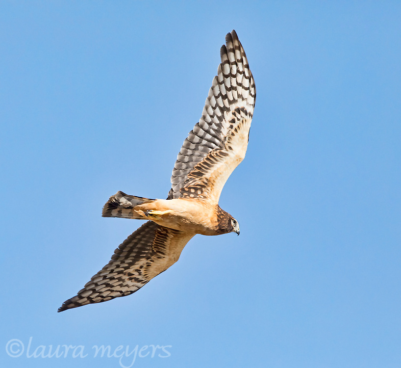 Northern Harrier in flight with wing spread against blue sky.