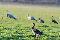 Spurwinged Goose standing together with Blue Cranes in a green farm field, Agulhas Plain, Overberg, Western Cape, South Africa