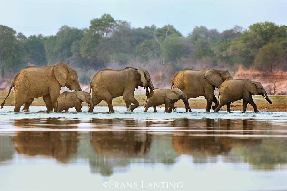 Elephants crossing Luangwa River, Zambia