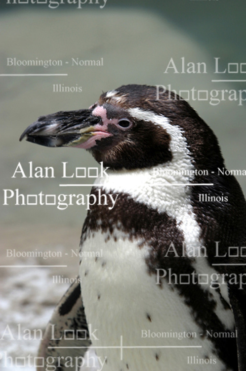 Humboldt Penguin (Photo by Alan Look)