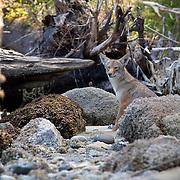 Coyote. South Puget Sound, Washington.
