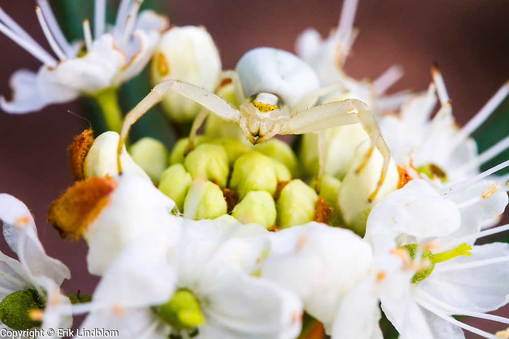The Crab Spider is a master of camouflage.