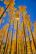 Looking up at tall aspen trees in autumn in the San Juan National Forest of Colorado
