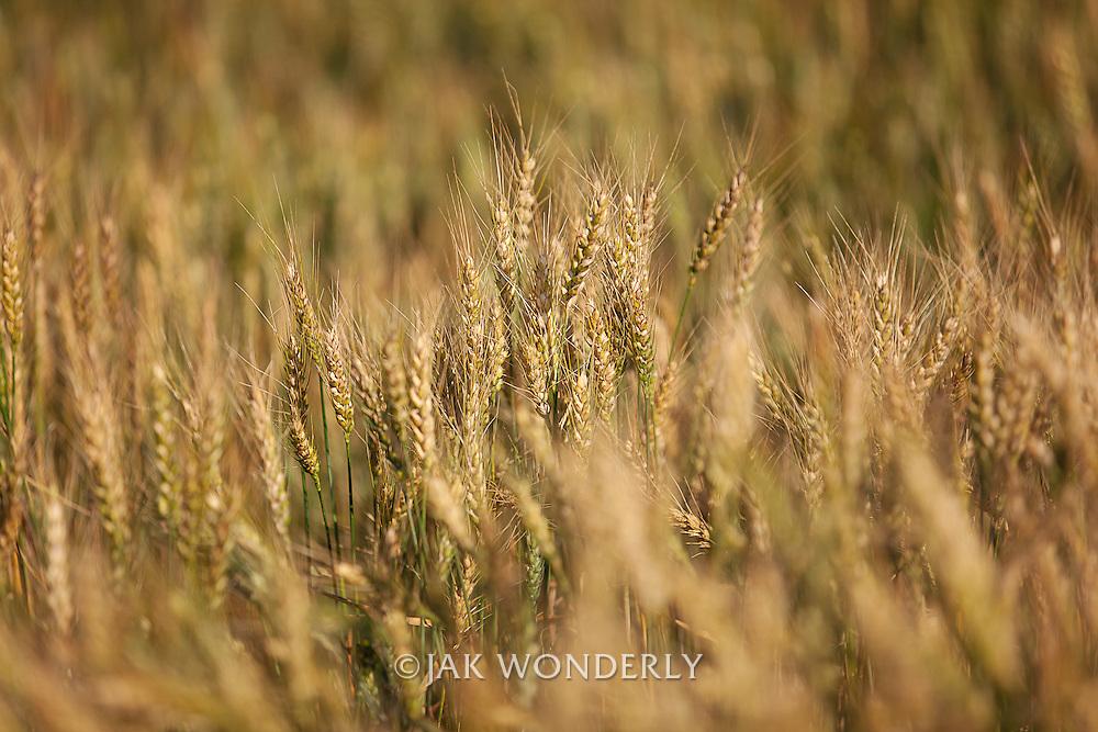 Wheat Field, Reno Farm, Cheney, Kansas, American AgCredit