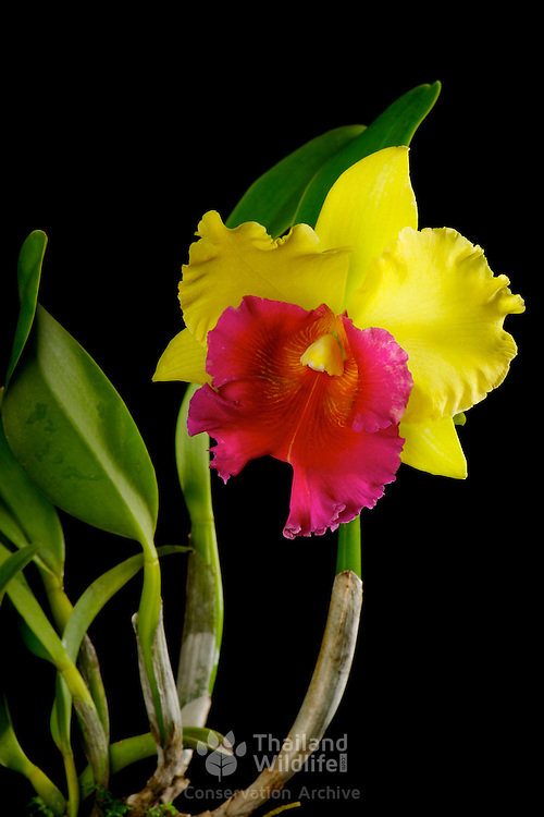 A brightly colored magneta and yellow arom gold changmark orchid from Thailand of the catleya species