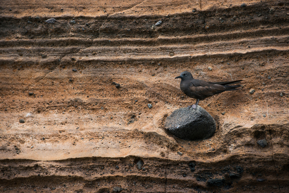 Brown Noddy (Anous stolidus galapagensis)<br /> Vicente Roca<br /> Isabela<br /> Galapagos<br /> Ecuador, South America<br /> ENDEMIC SUBSPECIES
