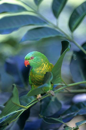 Scaly-breasted Lorikeet, (Trichoglossus chloroepidotus) Eastern Australia.