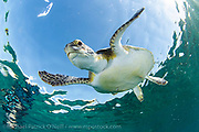 Green sea turtle Chelonia mydas swims offshore Palm Beach County, Florida.