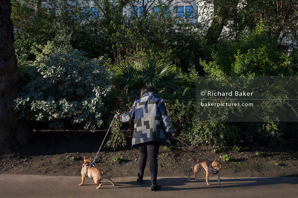 A pet owner stops with her dogs near bushes, on 20th January 2017, in central London, England.
