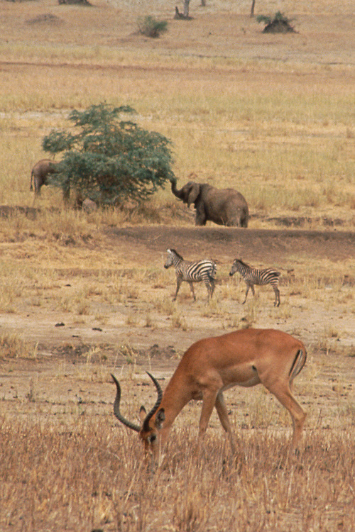elephant, zebra and gazelle grazing in the Serengeti, Tanzania, Africa