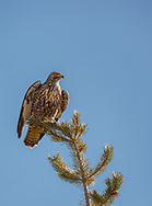 Juvenile red-tailed hawk deliberately grasped the upright top of a lodgepole pine and bent it over to form a perch, Yellowstone National Park, WY, © 2005 David A. Ponton