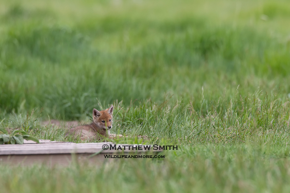 Coyote Pups playing in Grand Teton National Park