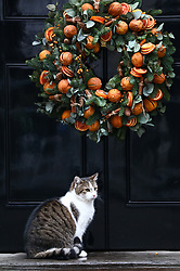 © Licensed to London News Pictures. 17/12/2019. London, UK. Larry the Downing Street cat looks relaxed with the Christmas decorations as ministers attend the first cabinet meeting after the election. Photo credit: Alex Lentati/LNP