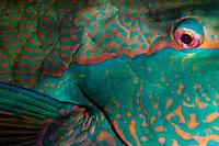 parrot fish (Scarus sp.) Tahiti