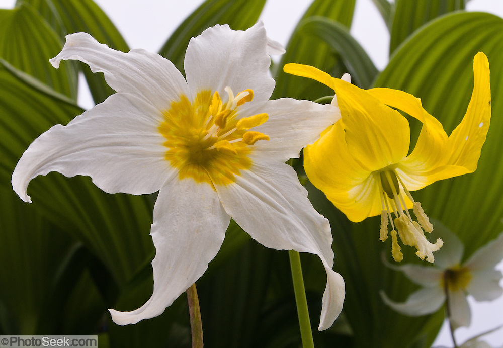 "A white Avalanche Lily (Erythronium) grows next to a yellow Glacier Lily on Tolmie Peak, Mount Rainier National Park, Washington, USA. Published in ""Light Travel: Photography on the Go"" by Tom Dempsey 2009, 2010."