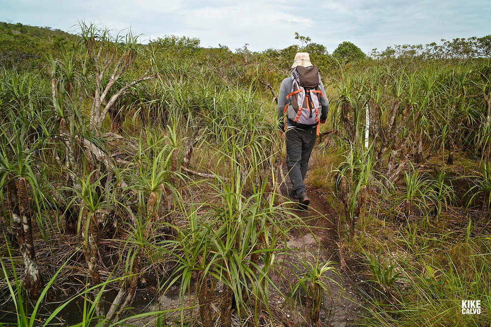 Local expert walking on a trail surrounded by Velloussea, the endemic plant of Sierra de la Macarena National Park.