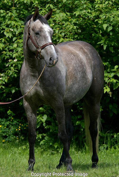 Grey Thoroubred gelding
