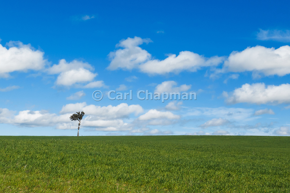 Single tree at top of pasture field under blue sky with cumulus clouds near Yass, New South Wales