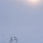 A pair of male polar bears (Ursus maritimus) wrestling on ice. Hudson Bay, Cape Churchill, Canada