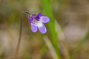 Tettegras, Pinguicula vulgaris.  Common butterwort, is a perennial carnivorous plant in the Lentibulariaceae family. Blærererotfamilien,