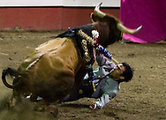 Matador Cesar Castaneda, of Mexico, gets run over by a bull during the Festival Tuarino 2011, a bloodless bullfight event held at the Portuguese Hall in Artesia, Calif. Saturday May 31, 2011. Castaneda was mostly unhurt and continued to face his second bull.