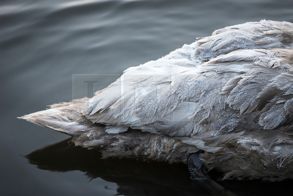 © Licensed to London News Pictures. 29/11/2016. Leeds UK. Picture shows frost on a cygnets back at the lake at Golden Acre park in Leeds this morning on a bright but freezing start to the day. Photo credit: Andrew McCaren/LNP