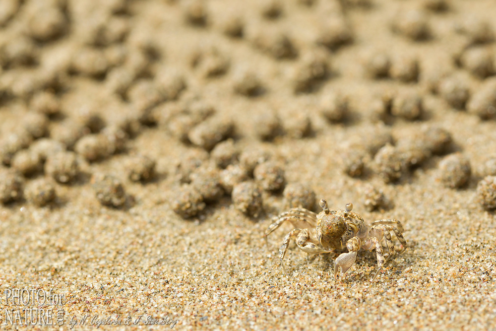 Indonésie, Province des Moluques, île de Seram, Bula, crabe réalisant des boules de sables sur une plage // Indonesia, Maluku, Seram island, Bula, sand bubbler crab on the beach