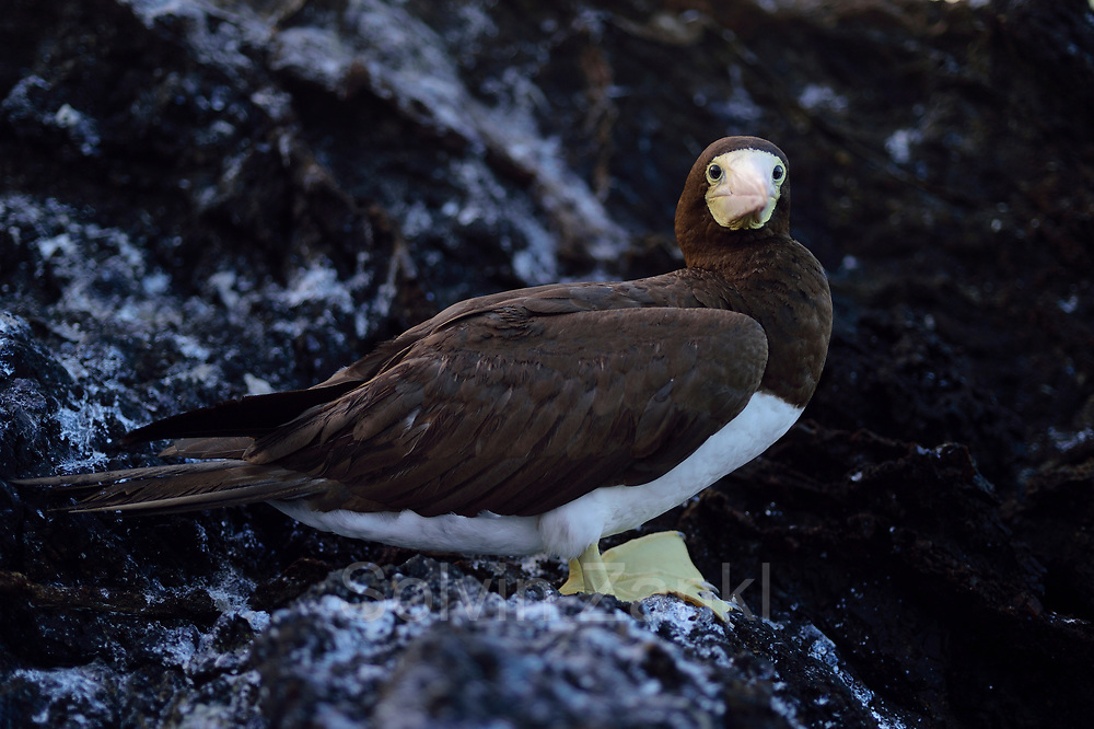 Brown Boobies (Sula leucogaster) fearlessly defend their nests in St. Paul's Rocks. Central equatorial Atlantic Ocean, Saint Peter and Saint Paul Archipelago, Brazil #STP17 [first published through bioGraphic, a program of the California Academy of Sciences] |