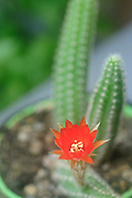 Peanut Cactus (Echinopsis chamaecereus) Cactus with red and orange flower