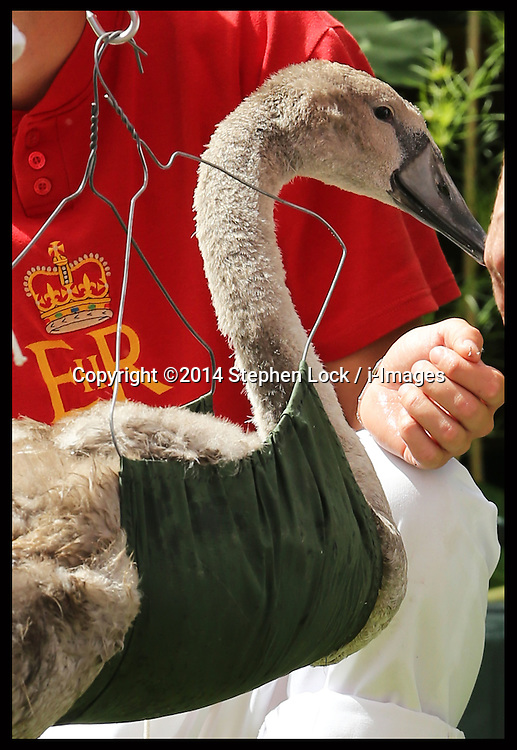 Image licensed to i-Images Picture Agency. 14/07/2014. Shepperton, United Kingdom. A cygnet is weighed and measured during the Swan Upping, the annual census of the swan population on the river Thames .Picture by Stephen Lock / i-Images