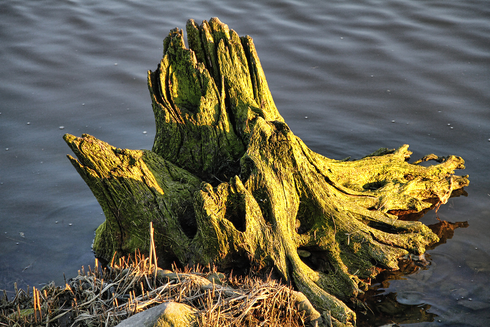 Decaying, algae covered tree stump in Dekorte Park, NJ.