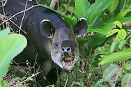 I love tapirs. These huge herbivores - distant relatives of the rhinoceros - stand as tall as a small donkey and can weigh up to 550 pounds. They slowly trample through the rainforest undergrowth grazing on mainly leaves and stems. This photo of a male in Corcovado National Park is my favorite tapir image; I only wish it had audio so you could hear the noise it made while chewing!<br /> <br /> For sizes and pricing click on ADD TO CART (above).