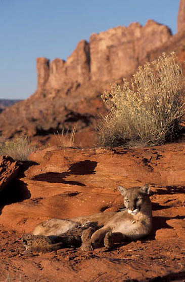 Mountain Lion or Cougar, (Felis concolor) Female with newborn cubs. Southern Utah. Red rock country.  Captive Animal.