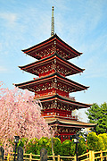 A japanese five storied pagoda located in Hirosaki northern Japan. It is spring time and surrounded with beautiful cherry blossoms.