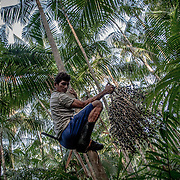 To climb the palm is used to use a rope that links the feet.