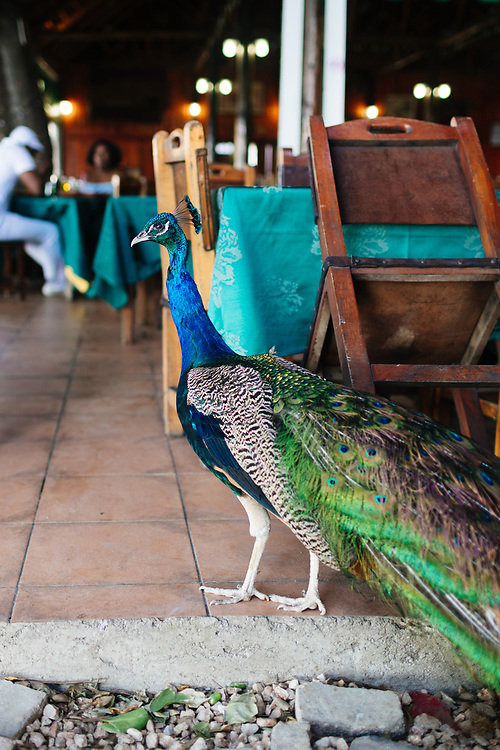 Peacock walks around Hotel Nacional de Cuba restaurant in Havana, Cuba