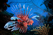 Mexico, Quintana Roo, Xcalak. Portrait of a lion fish surrounded by corals at Posa Rica dive site.